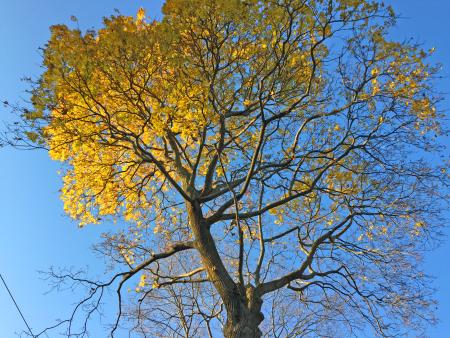 Cohen tree